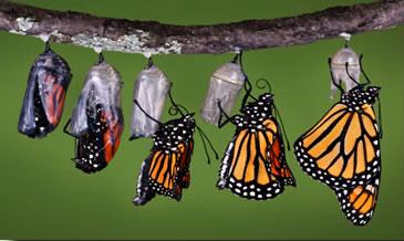 butterflypupa